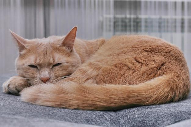 회색 소파에서 낮잠을 자고있는 빨간 고양이.