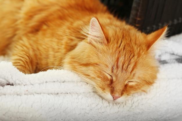 屋内で休んでいる赤猫