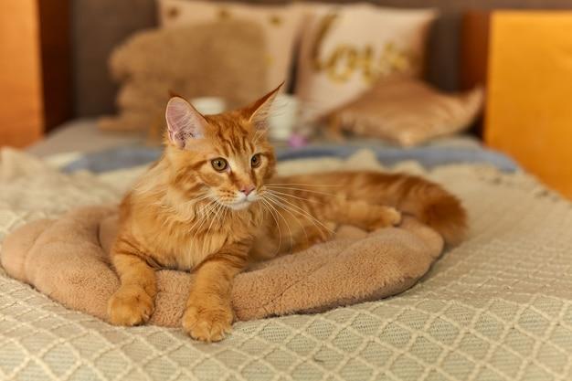 ベッドの柔らかい枕の上に横たわっている、目覚めた赤い猫