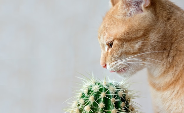 A red cat tries to lick a cactus.