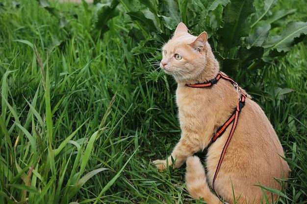 赤猫の散歩。夏の日、飼い猫が緑の芝生のひもにつないで歩いています。歩くペット。