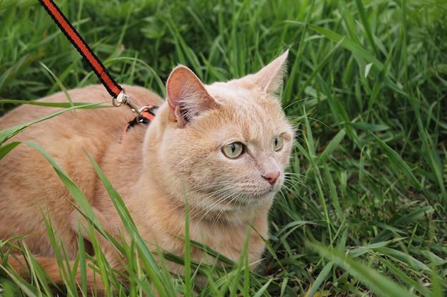 赤猫の散歩。夏の日、飼い猫がひもにつないで緑の芝生に座っています。歩くペット。