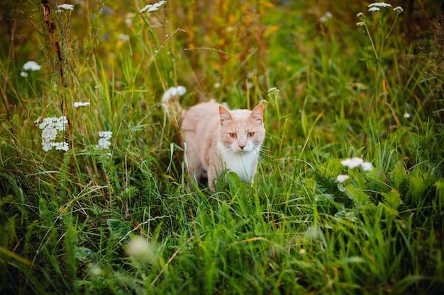 Red cat walks on green grass
