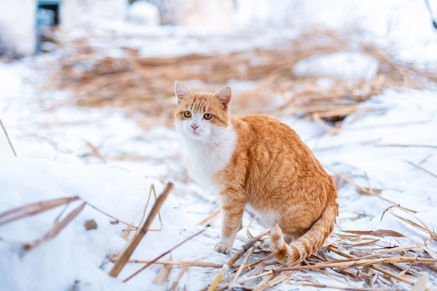 A red cat went outside for a walk on a winter day.