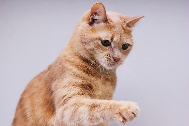 Рыжий кот с поднятой лапой. изолированный кот. домашнее животное.