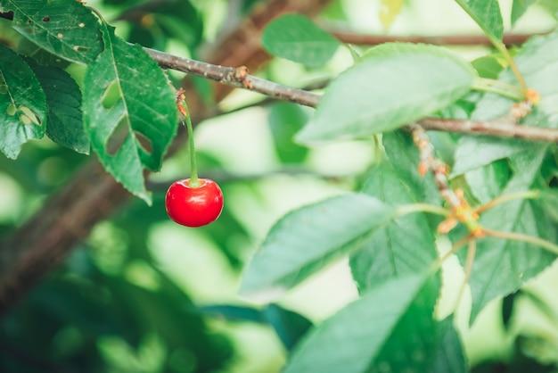 初夏の枝に赤いチェリーベリー