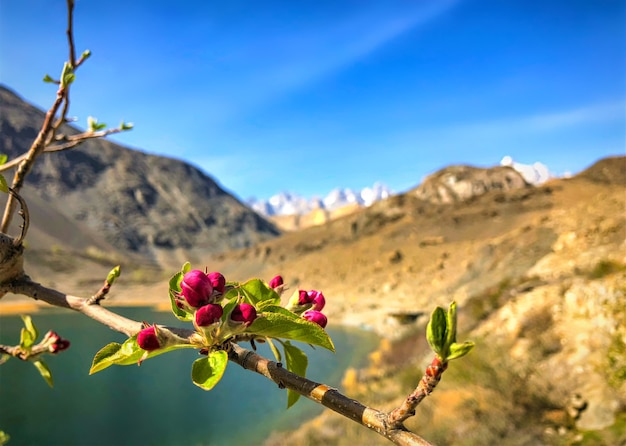 Red cherry blossom and mountain with blue sky