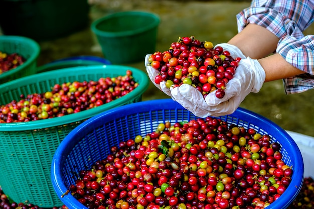 Red cherry coffee bean in hands.