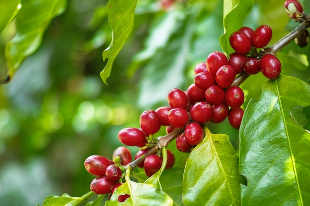 Red cherry coffee beans on the branch of coffee plant before harvesting