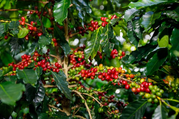 Red cherry coffee beans organic 100% of coffee plant before harvesting at chiang rai thailand