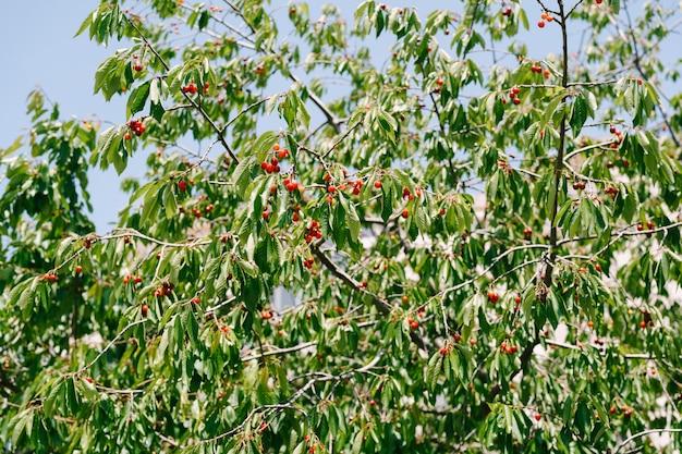 Красные плоды вишни на ветвях деревьев, спелые ягоды среди листвы