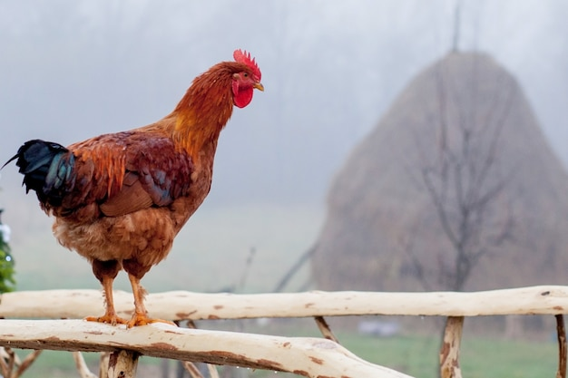 Red chicken standing on wooden picket fence with coop in background