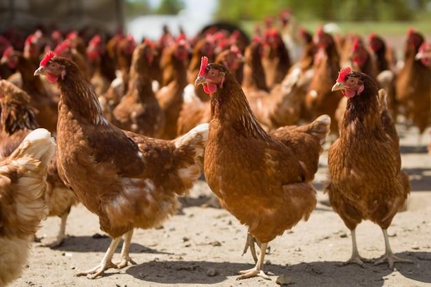 Красные куры на ферме на природе. куры на ферме свободного выгула. цыплята гуляют во дворе фермы.