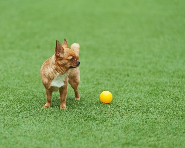Красная собака чихуахуа на зеленой траве.