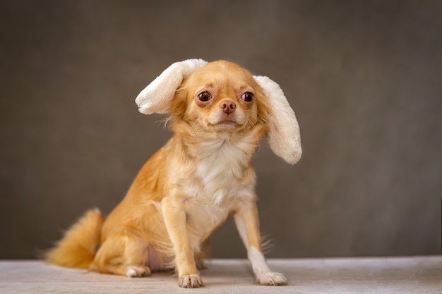 彼の頭の上に座っている赤いチワワ犬は飾り、ウサギの耳です。