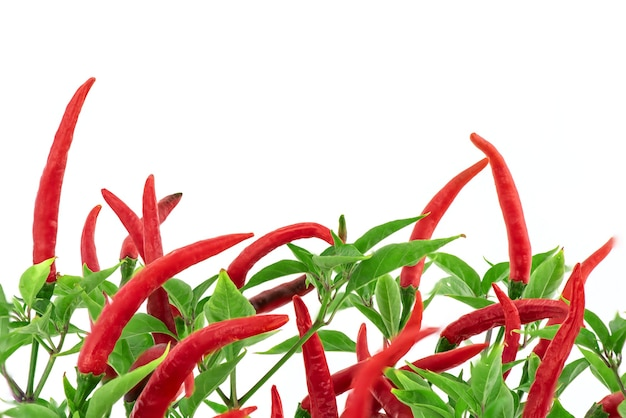 Red chili fruits on branch green leaves isolated on white .