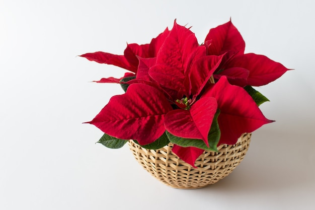 Red christmas flower poinsetta in wooden a basket on white surface