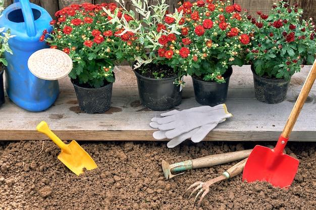 植える準備ができている木の板の上に立っている鍋の赤い菊とハクロニシキの茂み