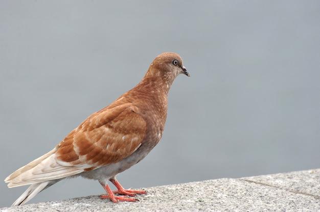 Красный голубь