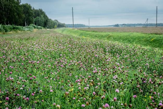 Красный клевер, растущий в поле.