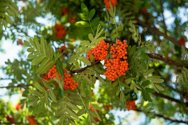 Red clusters of a mountain ash or rowanberry, on branch in summe