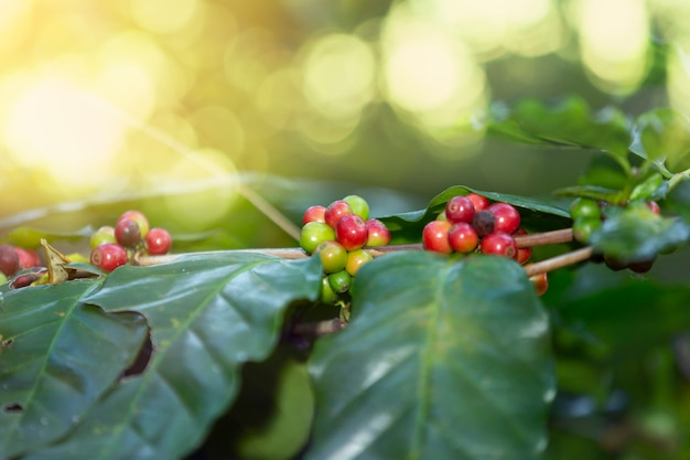 Red coffee bean cherry on branch.