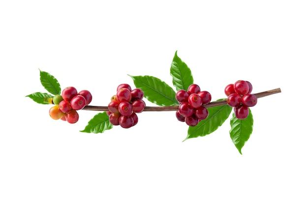 Красные кофейные зерна на ветке кофейного дерева, спелые и незрелые ягоды, изолированные на белом фоне