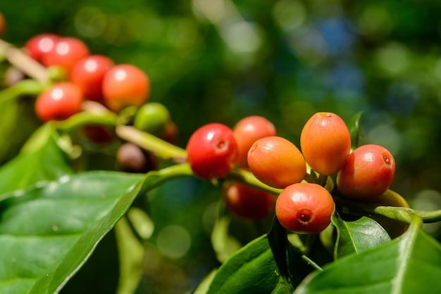 焦点がぼけた緑の葉の背景とクローズアップで植物の赤いコーヒーベリー