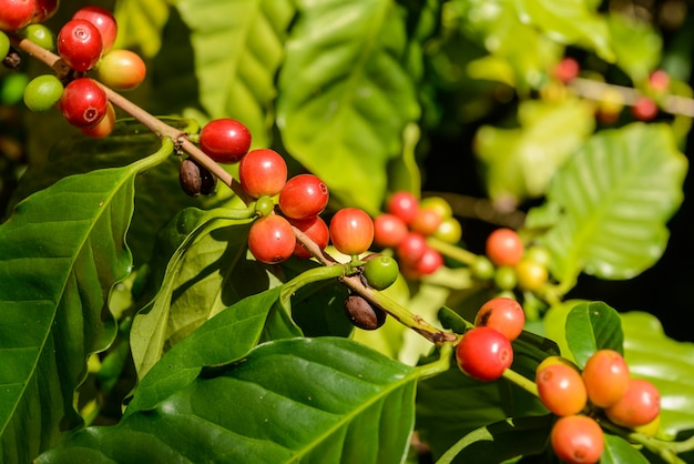 Red coffee berries on plant in close up with defocused green foliage background