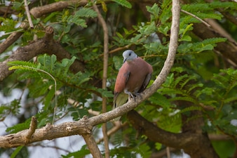 Red collared dove (Streptopelia tranquebarica ) with green background in nature