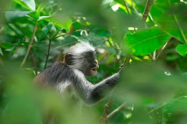 Красный колобус piliocolobus kirki обезьяна на свалке леса, лес джозани, занзибар, танзания