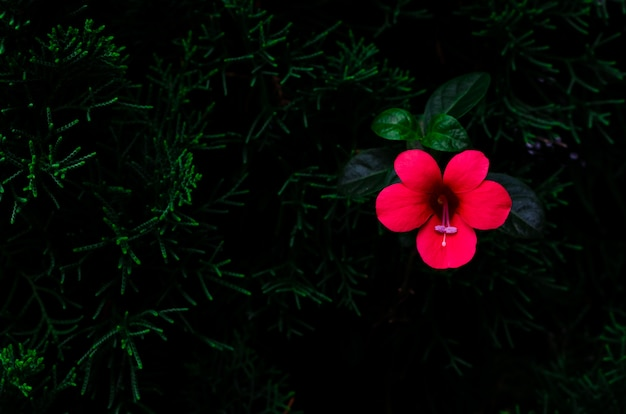 Red color flower coral creeper (barleria repens) that growing up on pine