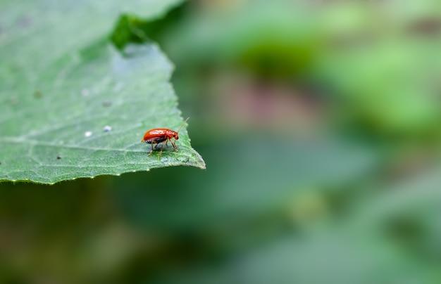 녹색 야채 잎에 앉아 붉은 색 잎 롤러 바구미를 닫습니다
