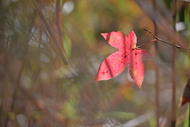 Red color maple leaf during autumn in south of japan