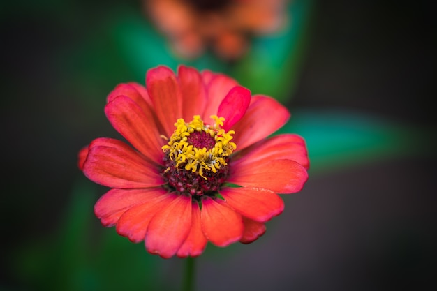 Red common zinnia (zinnia elegans) in garden with space for putting text
