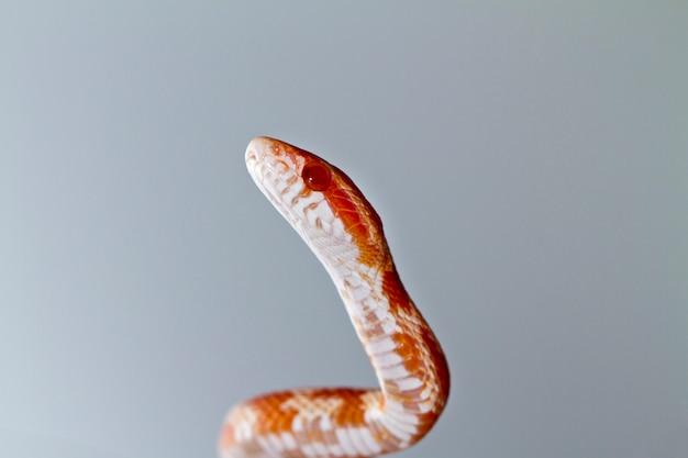 Red corn snake