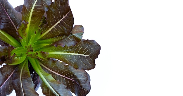 Red cos lettuce leaves on white background.