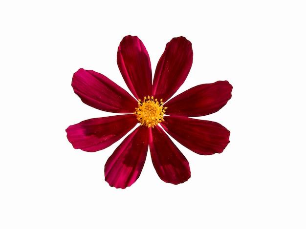 Красный цветок cosmea, изолированные на белом фоне. красивый натюрморт. цветок в форме звезды. весеннее время. плоская планировка, вид сверху.