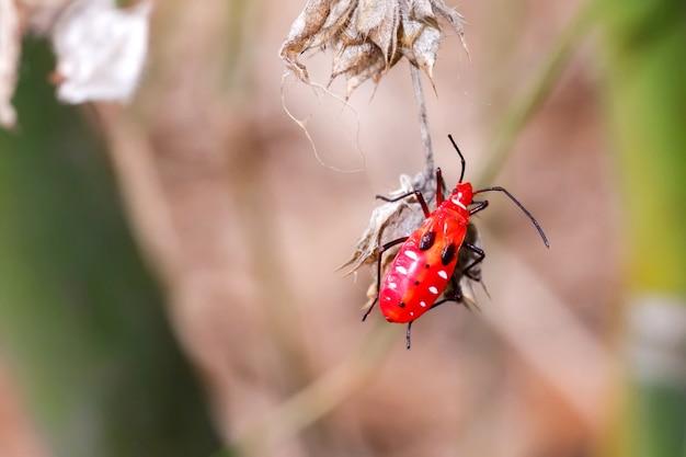 빨간 목화 벌레, 목화 얼룩 벌레, 작은 빨간 곤충은 식물을 건강에 해롭게 자라게 하는 해충입니다.