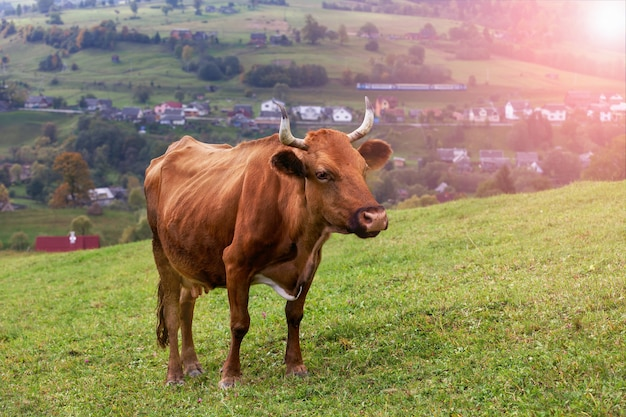 A red cow on green grass in a meadow, pasture on a green hillside.