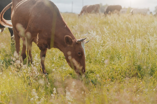 Red cow in pasture in rural area. cow eating grass
