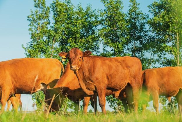 Красные коровы и телята на лугу