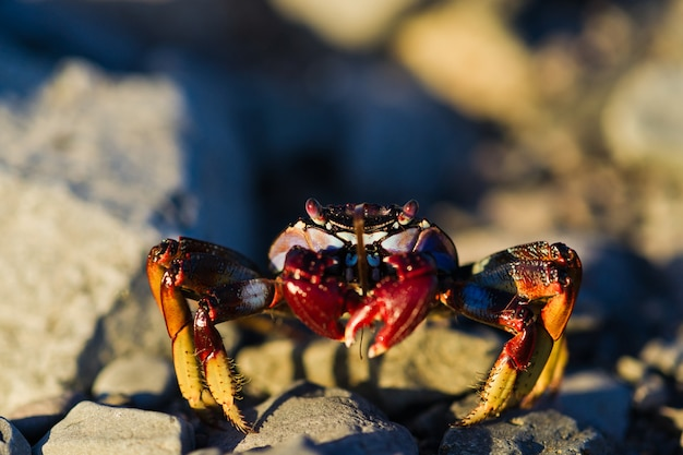 Red crab on  the rock. copy space, selective focus