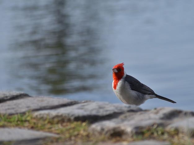 Краснохохлый кардинал (paroaria coronata)