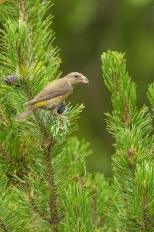 矮性の松の枝に座って餌をやる赤いクロスビルloxiacurvirostraの女性