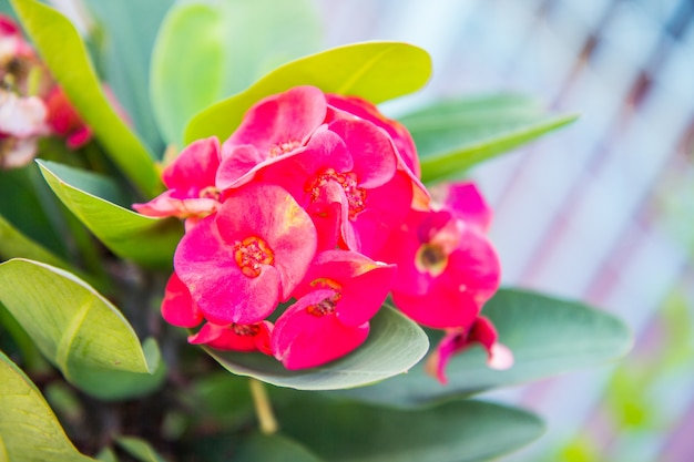 Red crown of thorns flowers : euphorbia milli desmoul flower