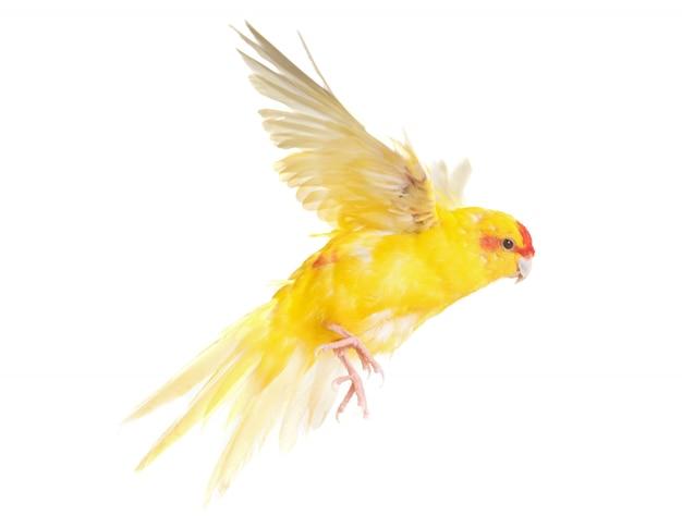 Red-crowned parakeet in studio