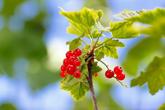Red currant on a bush in a garden in the summer.
