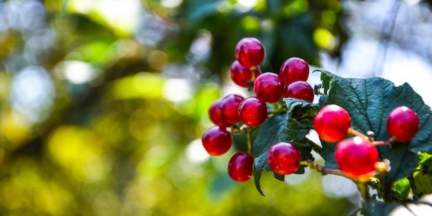 庭の赤スグリ。セレクティブフォーカス。プリトヴィツェ湖群国立公園。スペースをコピーします。茂みに熟したクランベリーのクローズアップ。本物の農場シリーズ。