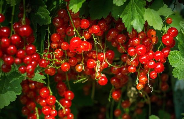Красная смородина непосредственно перед сбором урожая на кусте.